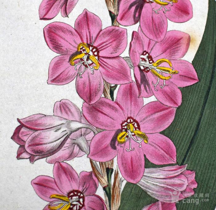 稀有图谱1803年英国柯蒂斯植物铜版画Watsonia图2