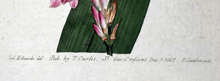 稀有图谱1803年英国柯蒂斯植物铜版画Watsonia图3