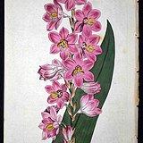 稀有图谱1803年英国柯蒂斯植物铜版画Watsonia