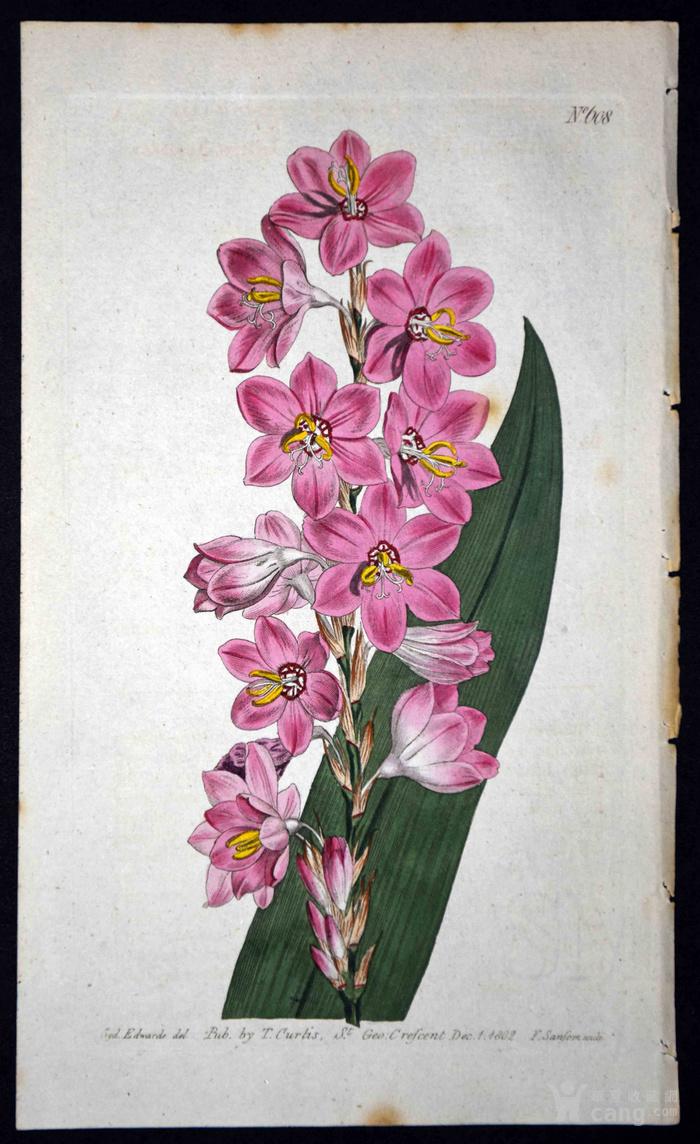 稀有图谱1803年英国柯蒂斯植物铜版画Watsonia图1