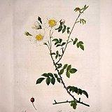 1817年REDOUTE*杜德《玫瑰圣经》 之旋花蔷薇