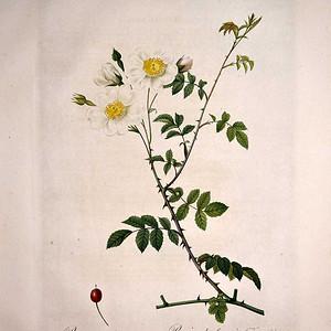 1817年REDOUTE雷杜德《玫瑰圣经》 之旋花蔷薇