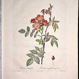 1817年REDOUTE*杜德《玫瑰圣经》之紫叶蔷薇