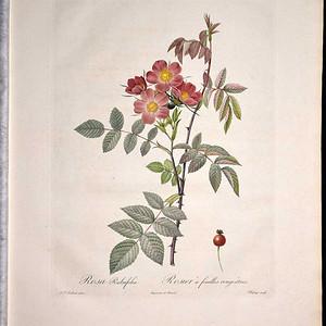 1817年REDOUTE雷杜德《玫瑰圣经》之紫叶蔷薇