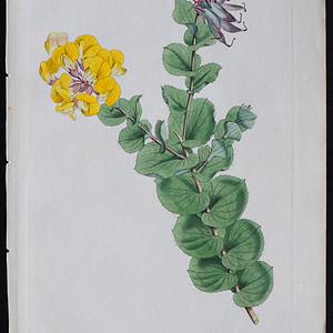 精美图谱1801年英国柯蒂斯植物铜版画274号,手工上色