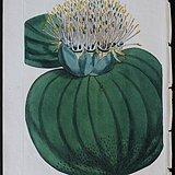 精美图谱1802年英国柯蒂斯植物铜版画559号,手工上色