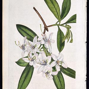 1822年英国柯蒂斯植物铜版画2308号,手绘植物图谱