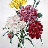 1827年欧洲艺术大师蕾杜德花卉圣经原版铜版画康乃馨