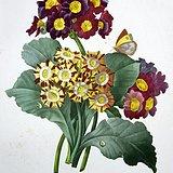 18世纪欧洲大师蕾杜德花卉圣经原版铜版画报春花