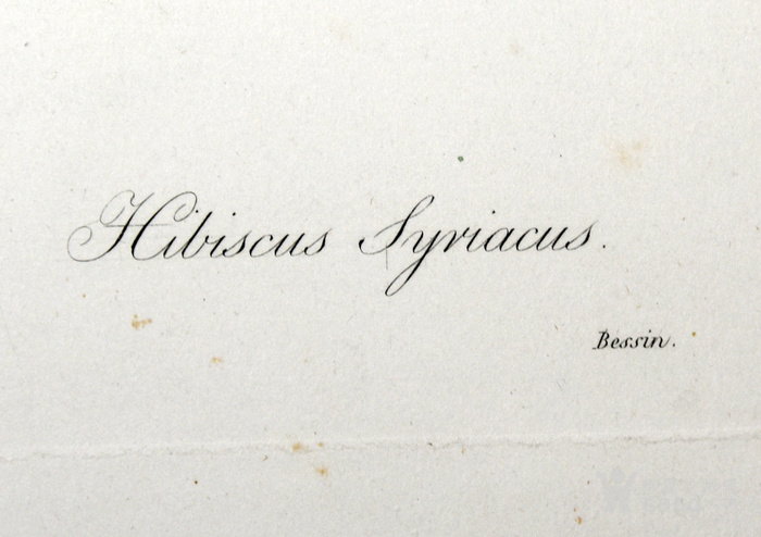 欧洲艺术大师蕾杜德花卉圣经1827年原版铜版画木槿图4