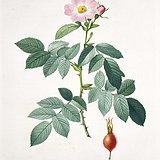 欧洲艺术巨匠蕾杜德花卉圣经铜版画苹果蔷薇