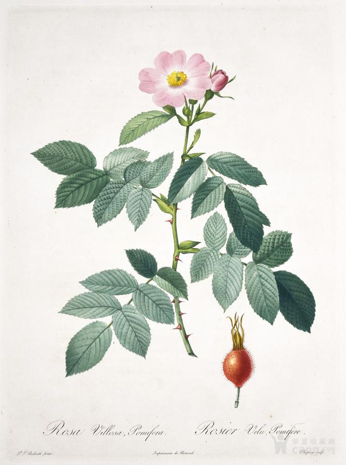 欧洲艺术巨匠蕾杜德花卉圣经铜版画苹果蔷薇图1