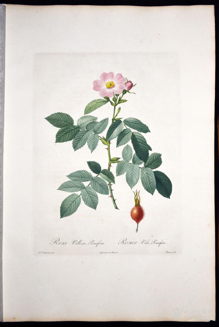 欧洲艺术巨匠蕾杜德花卉圣经铜版画苹果蔷薇图6