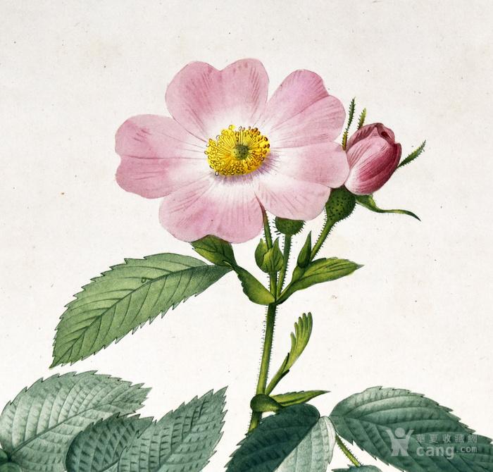 欧洲艺术巨匠蕾杜德花卉圣经铜版画苹果蔷薇图2