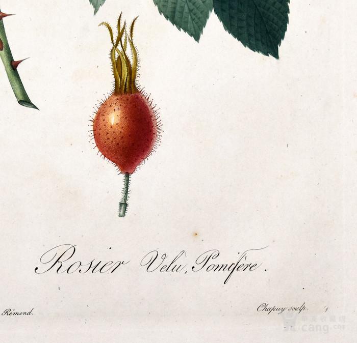 欧洲艺术巨匠蕾杜德花卉圣经铜版画苹果蔷薇图3