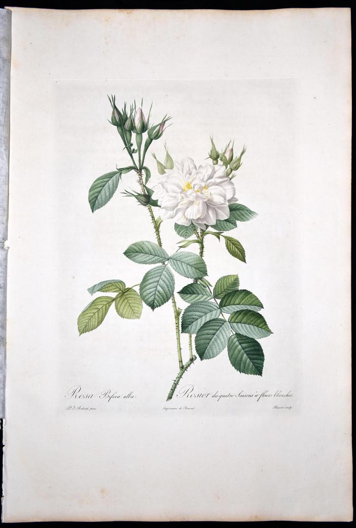 欧洲艺术巨匠蕾杜德花卉圣经铜版画大马士革白玫瑰图5