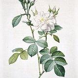 欧洲艺术巨匠蕾杜德花卉圣经铜版画大马士革白玫瑰