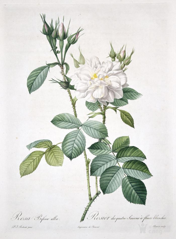 欧洲艺术巨匠蕾杜德花卉圣经铜版画大马士革白玫瑰图1