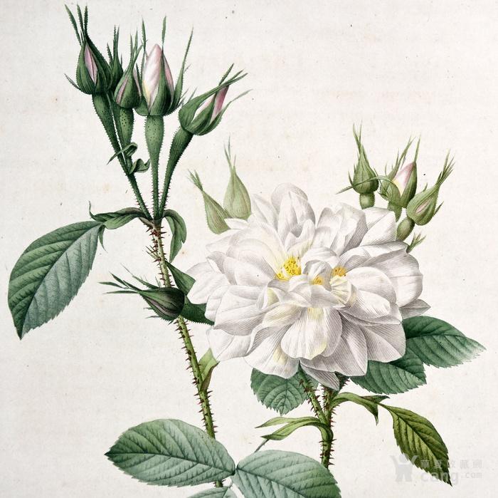 欧洲艺术巨匠蕾杜德花卉圣经铜版画大马士革白玫瑰图2