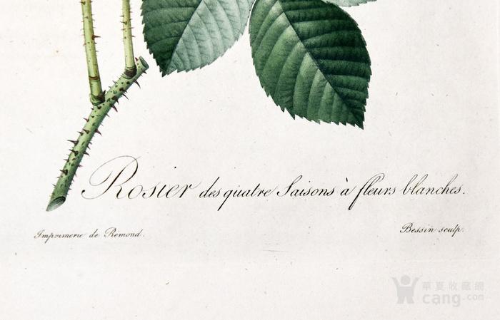 欧洲艺术巨匠蕾杜德花卉圣经铜版画大马士革白玫瑰图3