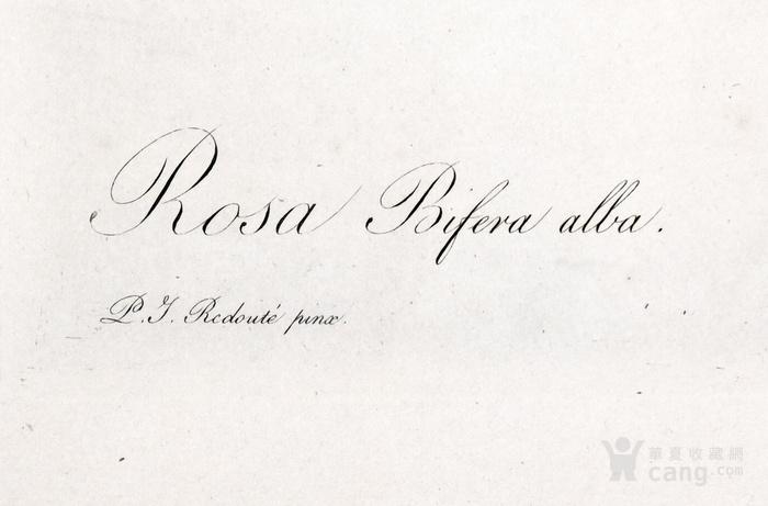 欧洲艺术巨匠蕾杜德花卉圣经铜版画大马士革白玫瑰图4