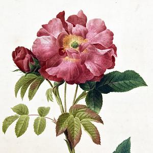 18世纪艺术巨匠蕾杜德手绘玫瑰圣经铜版画长春玫瑰植物图谱