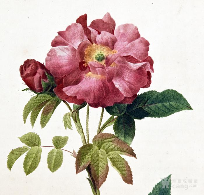 18世纪艺术巨匠蕾杜德手绘玫瑰圣经铜版画长春玫瑰植物图谱图1