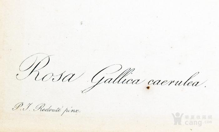 18世纪艺术巨匠蕾杜德手绘玫瑰圣经铜版画长春玫瑰植物图谱图4