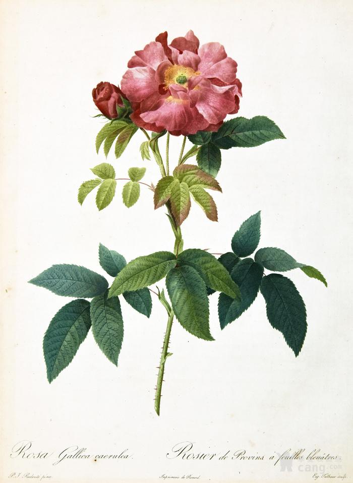 18世纪艺术巨匠蕾杜德手绘玫瑰圣经铜版画长春玫瑰植物图谱图2