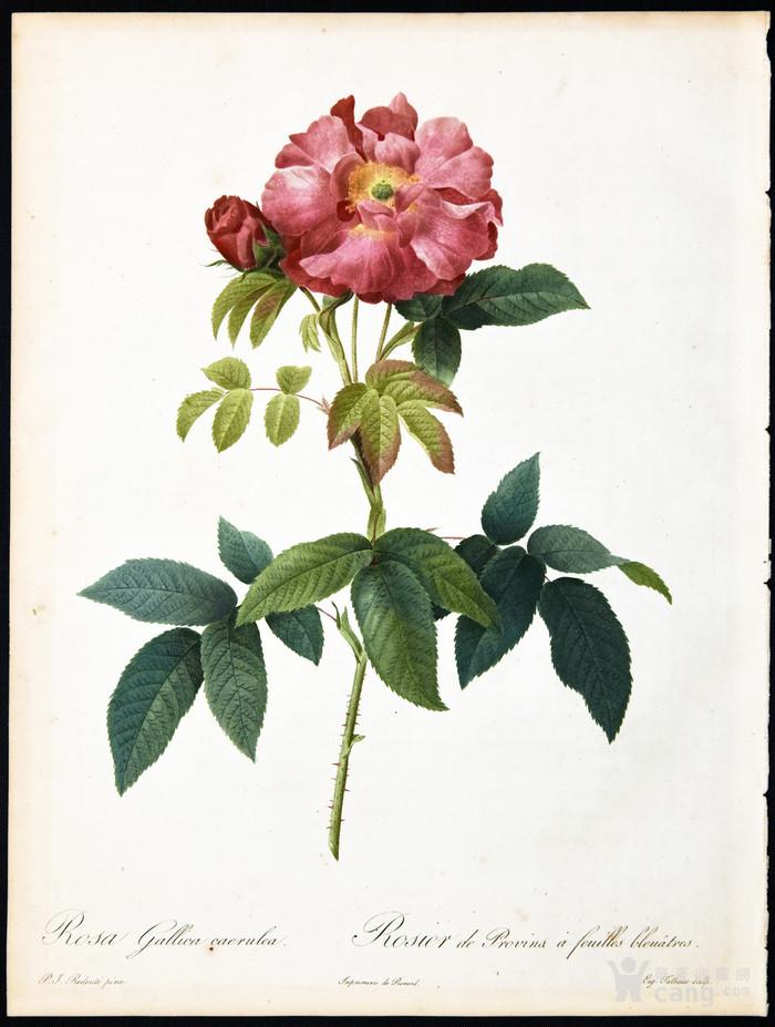 18世纪艺术巨匠蕾杜德手绘玫瑰圣经铜版画长春玫瑰植物图谱图5
