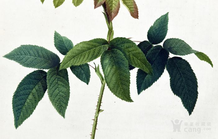 18世纪艺术巨匠蕾杜德手绘玫瑰圣经铜版画长春玫瑰植物图谱图3